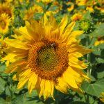 Weinhaus Fallnit - Sonnenblume